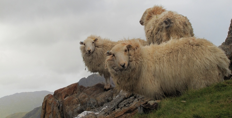 moutons_gallois