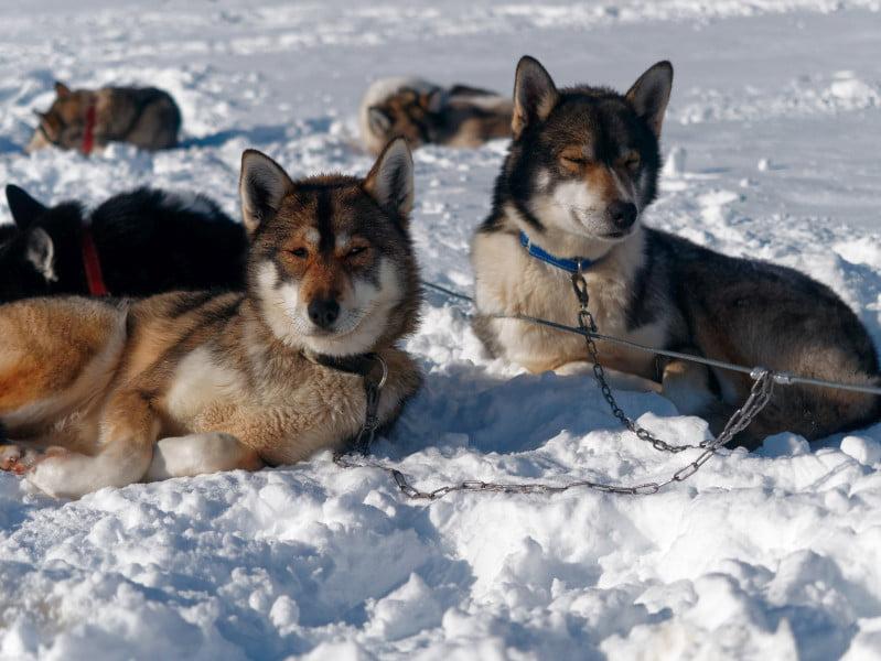 chiens_traineaux
