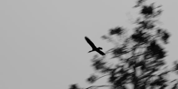 oiseaux_juodkrante