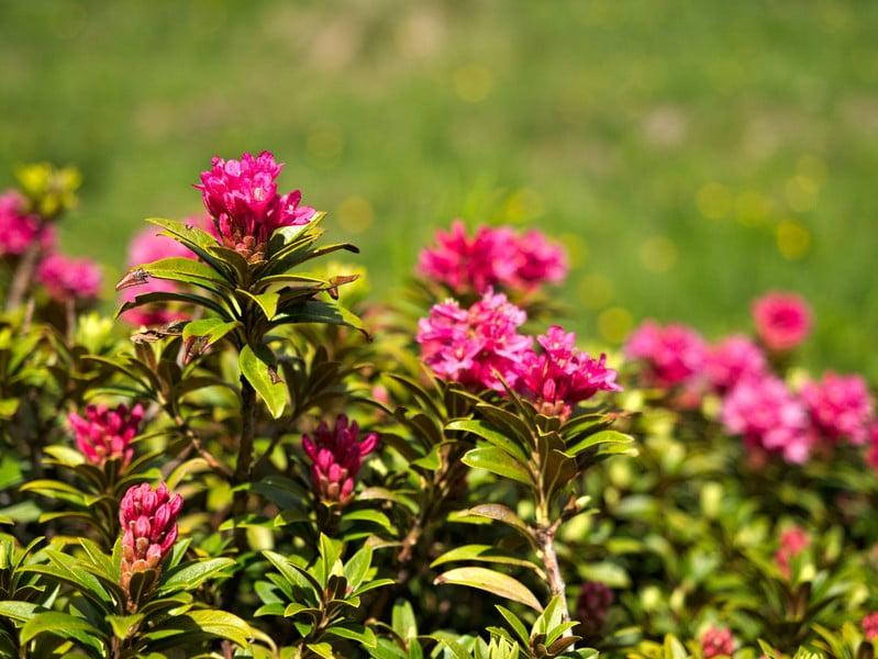 fleur_montagne_chartreuse